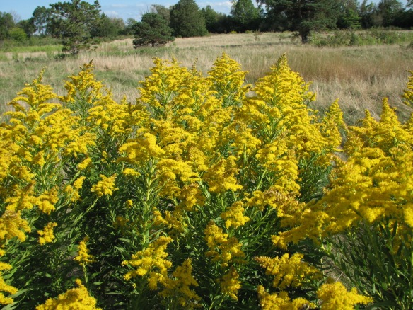 Goldenrod (Solidago spp), a notorious and obvious late bloomer.
