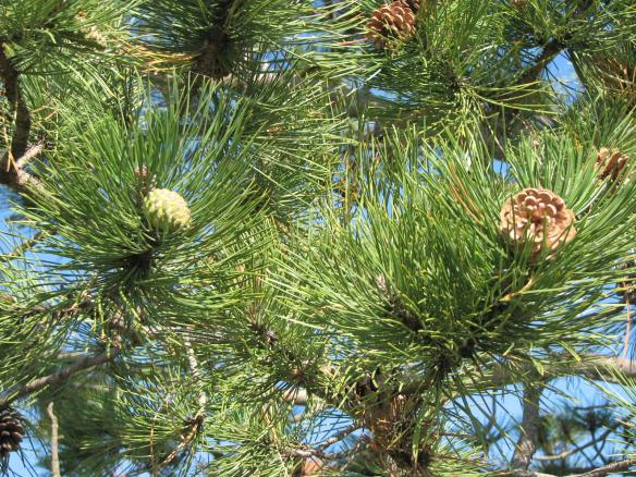 Jack pine (Pinus banksiana), first year (l) and second year (r) cones.