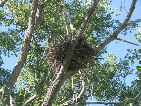 Active bald eagle nest in eastern cottonwood, Populus deltoides