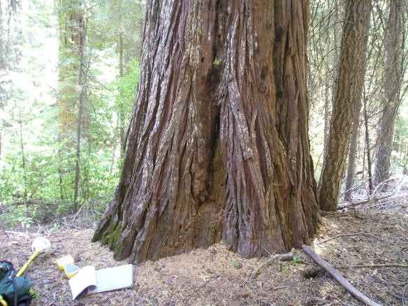 An original (1880) YNP bearing tree, in 2005, with blaze partially exposed.